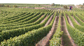 Picture of Wine harvest Stock Images