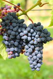 Picture of Wine harvest Stock Photo
