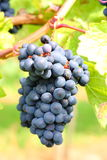 Picture of Wine harvest Stock Image