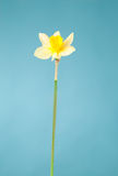 Picture of woman hand with narcissus Royalty Free Stock Photo
