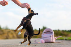 Woman playing with a pinscher hybrid puppy outdoors. Picture of a woman who is playing with a pinscher hybrid puppy outdoors Stock Image
