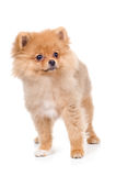 Picture of wonderful cute dog on a white background royalty free stock photography