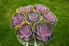 Aeonium isolated on a green background stock image