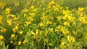 Yellow flowers in nature. Picture of yellow flowers in nature stock images