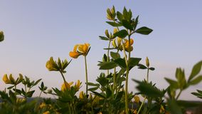 Yellow flowers in nature. Picture of yellow flowers in nature stock image