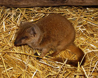 Picture of Yellow Mongoose called Red Meerkat Royalty Free Stock Photos