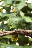 Yellow-shouldered amazon. A picture of a yellow shouldered amazon royalty free stock images