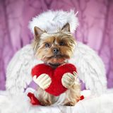 Picture of a yorkshire terrier with a heart saying: be my valentine stock photos