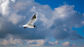 Peacfully seagull. In this picture you can see a single seagull flying in the sky Stock Images