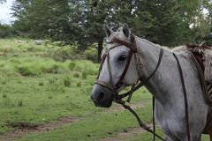 The majestic horse. In this picture you see a majestic horse Stock Photography