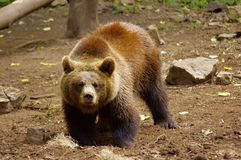Brown bear - Ursus arctos - Medved Hnedy royalty free stock photography