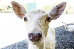 Young deer closeup Stock Image