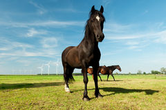 Picture of young Hanoverian horse Royalty Free Stock Photography