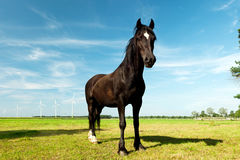Picture of young Hanoverian horse Royalty Free Stock Images