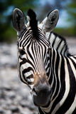 Zebra closeup Stock Photos