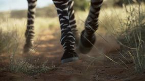 Picture of Zebra legs in the dirt stock photo