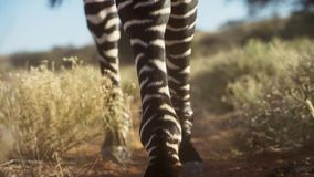 Picture of Zebra legs in the dirt royalty free stock photography
