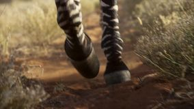 Picture of Zebra legs in the dirt royalty free stock images