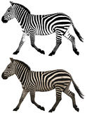 Picture of zebras Stock Image
