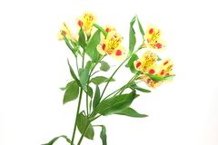 Alstroemeria in a white background Stock Images