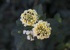 White and yellow flower cluster of a Lantana plant Royalty Free Stock Images