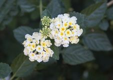 White and yellow flower cluster of a Lantana plant Royalty Free Stock Photos
