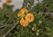 Orange flower cluster of a Lantana plant Royalty Free Stock Image