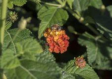 Bee fly on a red-orange flower cluster of a Lantana plant Stock Photo