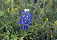 Bluebonnet in full bloom in Ennis, Texas. Pictured is a closeup view of bluebonnets in full bloom in Ennis, Texas. Bluebonnet is a name given to any number of stock images