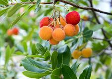 The fruit of a strawberry tree, Arbutus Unedo, in southern Italy. Pictured is a closeup view of the fruit of Arbutus unedo.  Arbutus unedo commonly known as the Stock Photography