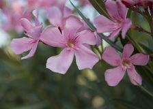Closeup view of a pink geranium blooms Stock Photos