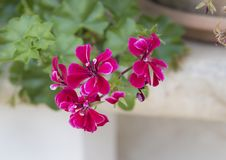 Red Geranium blooms, Southern Italy Stock Photos