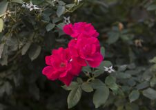 Closeup view red rose blooms Sorrento, Italy Stock Photos