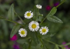 Closeup view of several small white daisy blooms with yellow centers, Philadelphia, Pennsylvania. Pictured is a closeup view of a several white daisy blooms with royalty free stock images