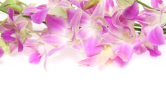 Cooktown Orchid in a white background Stock Photos
