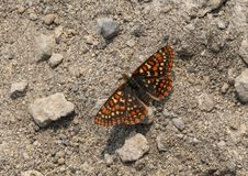 Edith`s Checkerspot butterfly, Mount Rainier National Park, Washington. Pictured is an Edith`s Checkerspot butterfly on a trail in Mount Rainier National Park royalty free stock photo