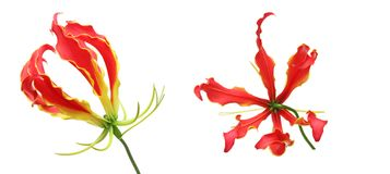 Flower head of gloriosa. Pictured flower head of gloriosa in a white background Royalty Free Stock Image