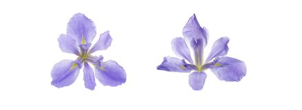 Flower head of iris in a white background stock photo