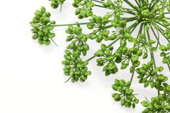 Flower head of Italian parsley in a white background Stock Photography