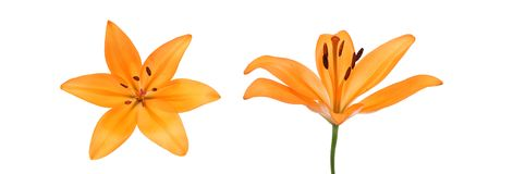 Flower head of lily in a white background. Pictured  flower head of lily in a white background Stock Photos