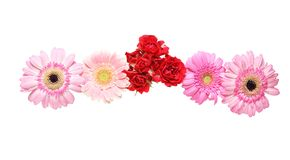 Flower head of the transvaal daisy and rose Royalty Free Stock Photography