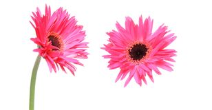 Flower head of transvaal daisy in a white background Stock Images
