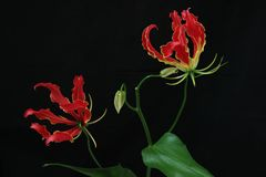 Gloriosa in a black background. Pictured  Gloriosa in a black background Stock Image