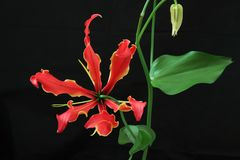 Gloriosa in a black background. Pictured  Gloriosa in a black background Royalty Free Stock Photo