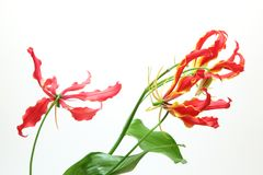 Gloriosa in a white background. Pictured  Gloriosa in a white background Royalty Free Stock Photos