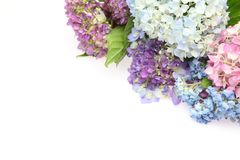 Hydrangea in a white background Royalty Free Stock Image