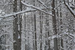 Japanese larch forest in winter Royalty Free Stock Photo