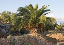 Pineapple palm growing in the Masseria Torre Coccaro, Italy Royalty Free Stock Photo