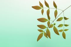 Heavenly bamboo in a green gradient background Royalty Free Stock Image