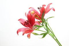 Lily in a white background. Pictured lily in a white background Royalty Free Stock Images